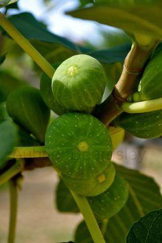 Figs in Sellia Marina (Calabria) Italy