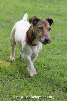 Georgia Jack Russell Rescue, Adoption and Sanctuary | Spike #cutest #shorty #jackrussell #rescue