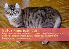 Conheça a raça de gatos American Curl (ou gato Curl Americano) com as suas adoráveis orelhas enroladas.