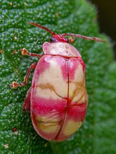 ˚Homophoita sp. Pink leaf beetle / besouro rosa by Techuser @ Flickr