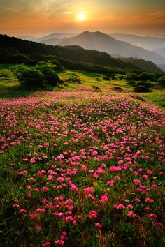 ✯ Field of Alpine Flowers