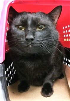 ONYX - 14664 - - Manhattan  ***TO BE DESTROYED 12/05/17***  SOCIAL, SWEET AND AFFECTIONATE ONYX LOVED TO PLAY WITH THE CHILD IN THE HOME BUT WAS SURRENDERED DUE TO ALLERGIES!  ONYX is a playful kitty and would let the child chase him around the house and play with him.  He liked playing with balls that have bells in them and cardboard boxes.  ONYX is such a wonderful cat – this handsome panther boy deserves a furever home for the holidays!  RESERVE ONYX BY NOON!! -