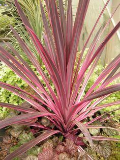 Pink Passion Dracaena Palm - Monrovia