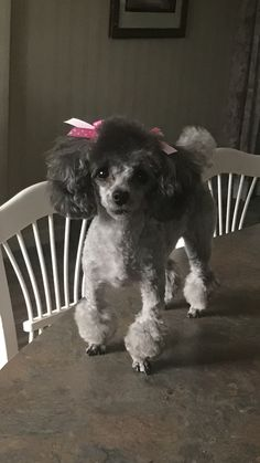 Good Screen dogs and puppies poodle Style Perform you adore the dog? Not surprisingly, you do. Correct puppy treatment and teaching will ensure you and Micro Teacup Poodle, Tea Cup Poodle, Teacup Poodle Puppies, Perros French Poodle, I Love Dogs, Cute Dogs, Small Poodle, Poodle Haircut, Poodle Cuts