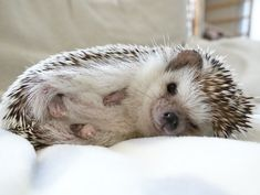 Ohhh my goodness these little hedgehogs are beyond cute Hedgehog Pet, Cute Hedgehog, Baby Animals Pictures, Cute Animal Photos, Baby Animals Super Cute, Cute Little Animals, Cute Animal Memes, Cute Funny Animals, Tier Fotos