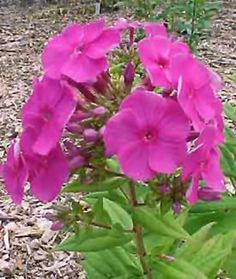 "Purple Flame Garden Phlox   (Phlox paniculata ""Purple Flame"")"