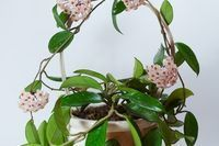 eHow Home & Garden Plants, Flowers & Herbs Indoor Growing How to Propagate a Rope Hoya How to Propagate a Rope Hoya By M.H. Dyer, eHow Contributor  Share  Tweet  Stumble  Share 6Found This Helpful Rope hoya (Hoya carnosa), also known as Hindu rope plant or wax plant, is an interesting indoor plant with thick, deep green, waxy foliage. Although rope hoya is often grown in hanging containers, the plant also likes to be planted in a tabletop pot, where the heavy vines are trained to grow…