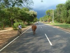 Cycling Holidays in Sri Lanka Sri Lanka Holidays, Cycling Holiday, Cow, Country Roads, Bike, Events, Explore, History, Bicycle