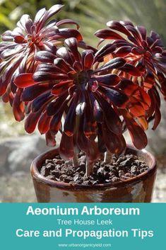 Tree House Leek (Aeonium Arboreum)