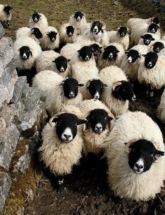 Sheep I want a couple so cute with their black faces and white noses awww Farm Animals, Animals And Pets, Cute Animals, Beautiful Creatures, Animals Beautiful, Wooly Bully, Photo Animaliere, Creation Art, Sheep And Lamb