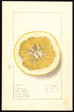 Artist:Schutt, Ellen Isham, 1873-1955 Scientific name:Citrus Common name:citrus fruits Geographic origin:Winter Garden, Orange County, Florida, United States  National Agricultural Library Digital Collections