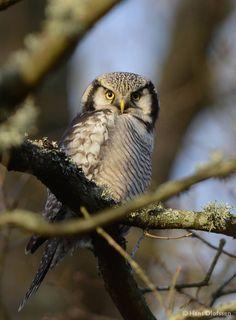 Gisteravond spotte boswachter Jos deze zeer bijzondere vogel: de sperweruil. Sinds 1900 maar 3 keer eerder in Nederland gezien! www.natuurmonumenten.nl/sperweruil
