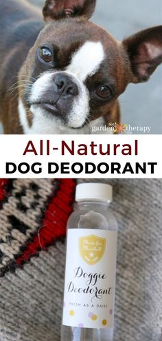 Get rid of that stinky dog smell with this homemade dog deodorant that smells like refreshing lavender. #gardentherapy #dog #naturalbeauty #naturalcleaning #pets #diy #lavender Stinky Dog, Dog Smells, Natural Cleaning Products, Homemade Dog, Garden Projects, Deodorant, Rid, Natural Beauty, Lavender