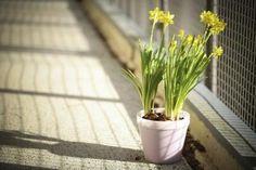 Como dividir narcisos | #decoracao #flores #jardim