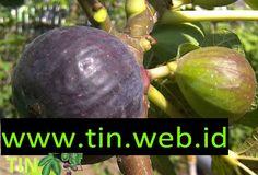 jual bibit buah tin | www.tin.web.id