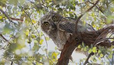"""YHOO Again?"" - Well my friends, they are out of the nest and will probably fledge soon...(sigh). This is the dominant owlet, which is still bigger and bolder then the nest mate.  I have loved watching them grow, and I hope you have too. ©R.C. Clark: Dancing Snake Nature Photography All rights reserved #arizona, #nature, #photography, #dancingsnakenaturephotography, #birds, #raptors,  #owls, #greathorned, #owlet"