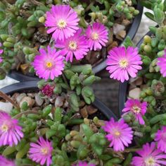Ice Plant (Drosanthemum hispidum) zones 5-12