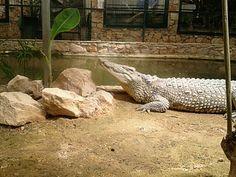 Krokodilooooo