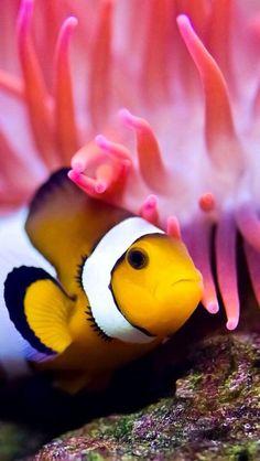 cute little clown fish hiding in a coral