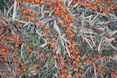 How to Use Sea Buckthorn and Sea Buckthorn Recipes