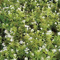 Sweet Woodruff: Galium odoratum