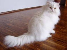 Persian cat for sale  #cat #cute cat #classified #buy   see more at : http://www.openads.biz/persian-cat-for-sale/