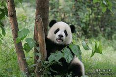 panda_jingjing_image2
