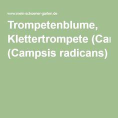 Trompetenblume, Klettertrompete (Campsis radicans)