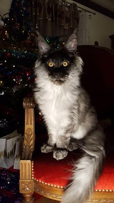 Post with 6668 votes and 214147 views. Tagged with cat, aww, christmas, maine coon, merrychrismastguys; Pretty Cats, Beautiful Cats, Animals Beautiful, Unique Animals, Beautiful Creatures, Warrior Cats, Maine Coon Kittens, Cats And Kittens, Werewolf Cat