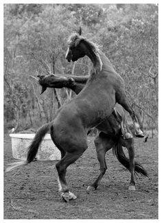 Horses restling