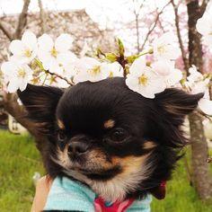おはりり 桜の冠 似合うかちら 今日もお花見行ってきまーす Li'li'i #chihuahua #cherryblossom #crown…