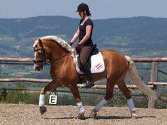 Winchester - Haflinger stallion