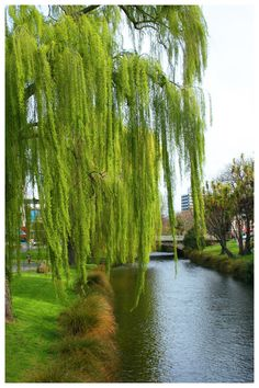 weeping willows are not so sad.
