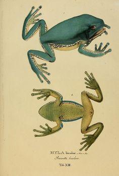 Animalia nova sive species novae testudinum et ranarum :.  Monachii :F.S. Hbschmanni,1824..    biodiversitylibrary.org/page/2948587