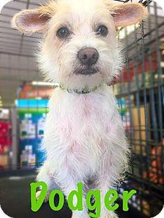Long Beach, CA - Jack Russell Terrier Mix. Meet Dodger, a dog for adoption. http://www.adoptapet.com/pet/13202089-long-beach-california-jack-russell-terrier-mix