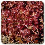 Organic Red Oak Leaf Lettuce