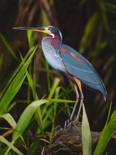 The beautiful Agami Heron (Agamia agami), also known as the Chestnut-bellied Heron, prefers thin streams and dense vegetation in neotropical lowland forests in Central America and northern Brazil. (Jeff Dyck/Flickr)