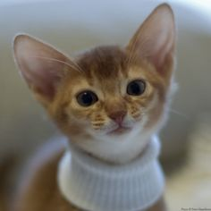 Adorable kitty wears a turtle neck. #cat