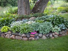 Hosta's around a Silver Maple. They can take the root competition and dryness. The Silver  Maple is the only tree you can put 12 inches of dirt max on the roots to cover the ones that pop out in the grass. The upper level of rocks has Jacobs ladder. By LORI LANDSCAPE.