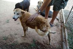 Please consider joining Soi Dog's Sponsor's Club and sponsor a dog like Twister today: https://soidog.org/en/sponsor-a-dog-or-cat/  Twister is 9 years old & was found on the streets of Phuket with a severely deformed left hind leg. This old injury is probably due to a road accident years prior. The leg is not causing Twister any pain & now he's living at our shelter, we can closely monitor his progress.