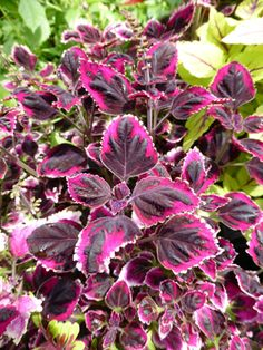 'Meandering Linda' Solenostemon is a creeping coleus that bears crinkly, chocolate-purple leaves banded in rich raspberry-pink, with touches of cream along the edges. Coleus can be grown in full sun to medium shade. Pinch the flowers off to retain the shape and dramatic focus on the exciting foliage.