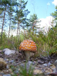 Highly poisonous mushrooms. photo: Johanna Rehn