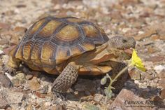 Desert tortoises inhabit a variety of desert shrub lands, but are most frequently found in the Reserve near areas with desert washes or below rocky slopes. Описание из redcliffsdesertreserve.com. Я искал(а) это в bing.com/images