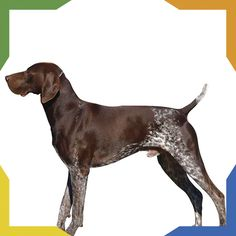 Some of the things we admire about the Energetic German Shorthaired Pointer Puppies Gsp Puppies, Pointer Puppies, Pointer Dog, Big Dogs, I Love Dogs, Cute Dogs, Funny Dogs, Funny Animals, Most Popular Dog Breeds