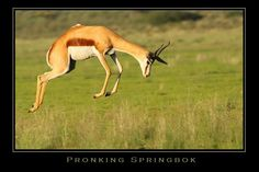 """Springbok often go into bouts of repeated high leaps (up to 13 feet) into the air in a practice known as """"pronking"""" (the Afrikaans word pronk means to show off)."""