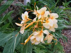 Full size picture of Hardy Ginger Lily 'Dr. Moy' (Hedychium)