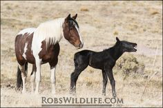 Wild Paint Horse with foal, Horse Photography, Robs Wildlife, Gifts for Horse Lovers, Horse Wall Art Home Decor by RobsWildlife on Etsy https://www.etsy.com/listing/241460068/wild-paint-horse-with-foal-horse