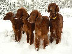 Viertal setters in de sneeuw.