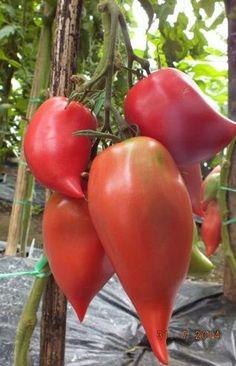Grow Organic Tomatoes - I Love Tomatoes Growing Tomatoes Indoors, Growing Tomatoes From Seed, Growing Tomato Plants, Growing Tomatoes In Containers, Growing Seeds, Grow Tomatoes, Organic Vegetable Seeds, Grow Organic, Organic Vegetables