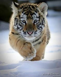 """""""Man, this is so cold on my paws; I need some snow shoes!"""""""
